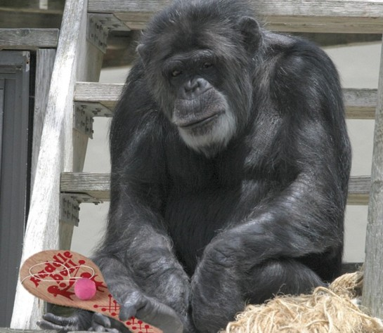 Chimp with Paddle